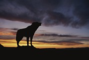 Yellowstone National Park Posters - Howling Wolf Silhouetted Against Sunset Poster by Norbert Rosing
