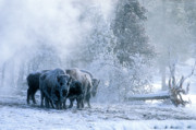 American Bison Art - Huddled For Warmth by Sandra Bronstein
