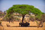Elephants Metal Prints - Huddled in Shade Metal Print by Adam Romanowicz