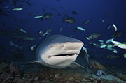 Swimming Fish Photos - Huge Bull Shark With Mouth Open, Fiji by Terry Moore