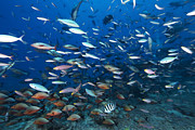 Tropical Fish Posters - Huge School Of Reef Fish Off The Coast Poster by Terry Moore