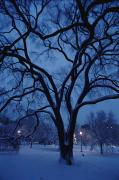 Boston Common Prints - Huge Snow-covered Tree In Boston Print by Medford Taylor