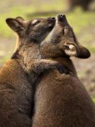 Wallaby Photos - Hugs by Mike  Dawson