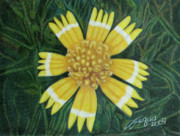 Daisy Drawings Originals - Huisache Daisy by Beverly Fuqua