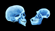 Chimpanzee Photo Posters - Human And Chimpanzee Skull Poster by D. Roberts