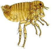 Human Nature Posters - Human Flea, Light Micrograph Poster by Dr Keith Wheeler