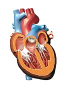 Cardiac Posters - Human Heart Anatomy, Artwork Poster by Jose Antonio PeÑas