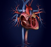 Vascular Posters - Human Heart, Artwork Poster by Claus Lunau