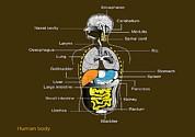 Human Internal Organs, Diagram Print by Francis Leroy, Biocosmos