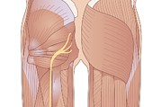 Buttock Posters - Human Muscle Structure, Artwork Poster by Peter Gardiner
