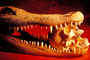 Skulls Photos - Human skull  alligator skull by Garry Gay