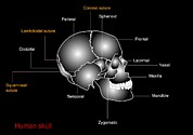 Skull Photos - Human Skull Anatomy, Diagram by Francis Leroy, Biocosmos