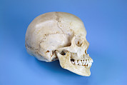Skull Photos - Human Skull by Paul Rapson