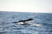 Michael Ledray - Humback Whale
