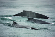 Up201209 Photos - Humbacks Whales Young Bay Alaska by Josh Whalen