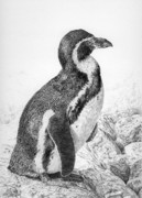 Penguin Drawings - Humboldt Penguin by Craig Carlson