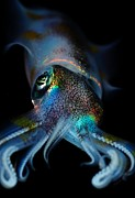 Squid Photos - Humboldt Squid by Pg Reproductions