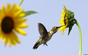 Wall Paper Posters - Hummer And Sunflower Poster by Robert Frederick