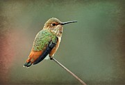 Tiny Bird Prints - Hummer At The Tiptop Print by Fraida Gutovich