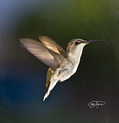 Hummingbird Prints - Hummer In Spring Morning Sunshine - Artist Cris Hayes Print by Cris Hayes