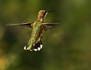 Trochilidae Photo Acrylic Prints - Hummer Acrylic Print by Robert Bales