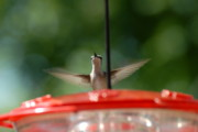 Birds Of Wells Mills Prints Posters - Humming Bird 71 Poster by Joyce StJames