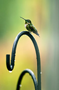 Ken Howard Art - Humming Bird in the Rain by Ken Howard