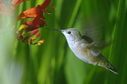 Humming Birds Framed Prints - Humming bird  Framed Print by Jeff  Swan