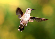 Hummingbird Photos - Hummingbird - Suspended in Mid Air by Carol Groenen