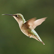 Avian Greeting Cards Posters - Hummingbird 1 Poster by Lori Whalen