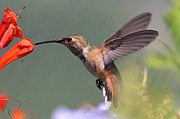 Paul Marto - Hummingbird 2