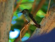 S. California Prints - Hummingbird 3 Print by Helen Carson