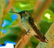 S. California Prints - Hummingbird 5 Print by Helen Carson