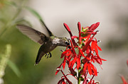 Reflections Of Infinity Llc Posters - Hummingbird and Cardinal Flower 8069-1 Poster by Robert E Alter Reflections of Infinity