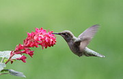 Nectar Posters - Hummingbird and Currant Poster by Angie Vogel