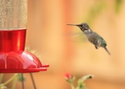 Hummingbird In Flight Posters - Hummingbird and Feeder Poster by Carol Groenen