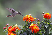 Kelly S Andrews - Hummingbird and Lantana