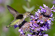 Hummingbird Prints Prints - Hummingbird and Purple Flower Print by Paul Marto