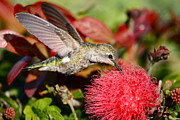 Hummingbird Prints Prints - Hummingbird and Red Flower Print by Paul Marto