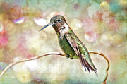 Ruby-throated Hummingbird Posters - Hummingbird Art Poster by Bonnie Barry