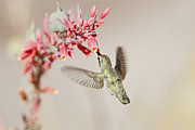 Tasting Photos - Hummingbird At Desert Flowers by Susan Gary