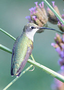 Hummingbird At Rest Print by Robert E Alter Reflections of Infinity
