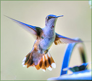 Flight Pyrography Posters - Hummingbird at the Feeder Poster by Shirley Tinkham