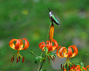 Hummingbird Originals - Hummingbird Blossom by Alan Lenk
