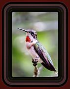 Hummingbird Card Print by Travis Truelove