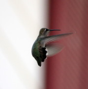 Hummingbird In Flight Posters - Hummingbird Changing Course Poster by Carol Groenen
