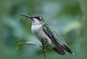 Ruby-throated Hummingbird Photos - Hummingbird Close-up by Sandy Keeton