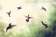 Small Birds Prints - Hummingbird Dance Print by Amy Tyler