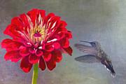 Hummingbird Dance Print by Daphne Sampson