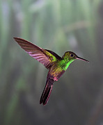 Colored Metal Prints - Hummingbird Metal Print by David Tipling